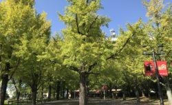 【熊本県庁 プロムナード】熊本市内で1番のイチョウ並木スポット!《熊本市中央区水前寺》