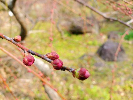 【谷尾崎梅林公園】梅の花の咲き誇る素敵な公園《熊本市西区谷尾崎》