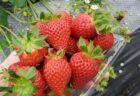 【パティスリーメテオール】苺のパンナコッタはまさに苺界のオーケストラでした。《菊池市七城町蘇崎》