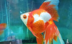 【金魚の館】かわいい金魚がお出迎え!天候気にせずに遊べる施設☆金魚すくいも楽しめるよ☆《玉名郡長洲町》