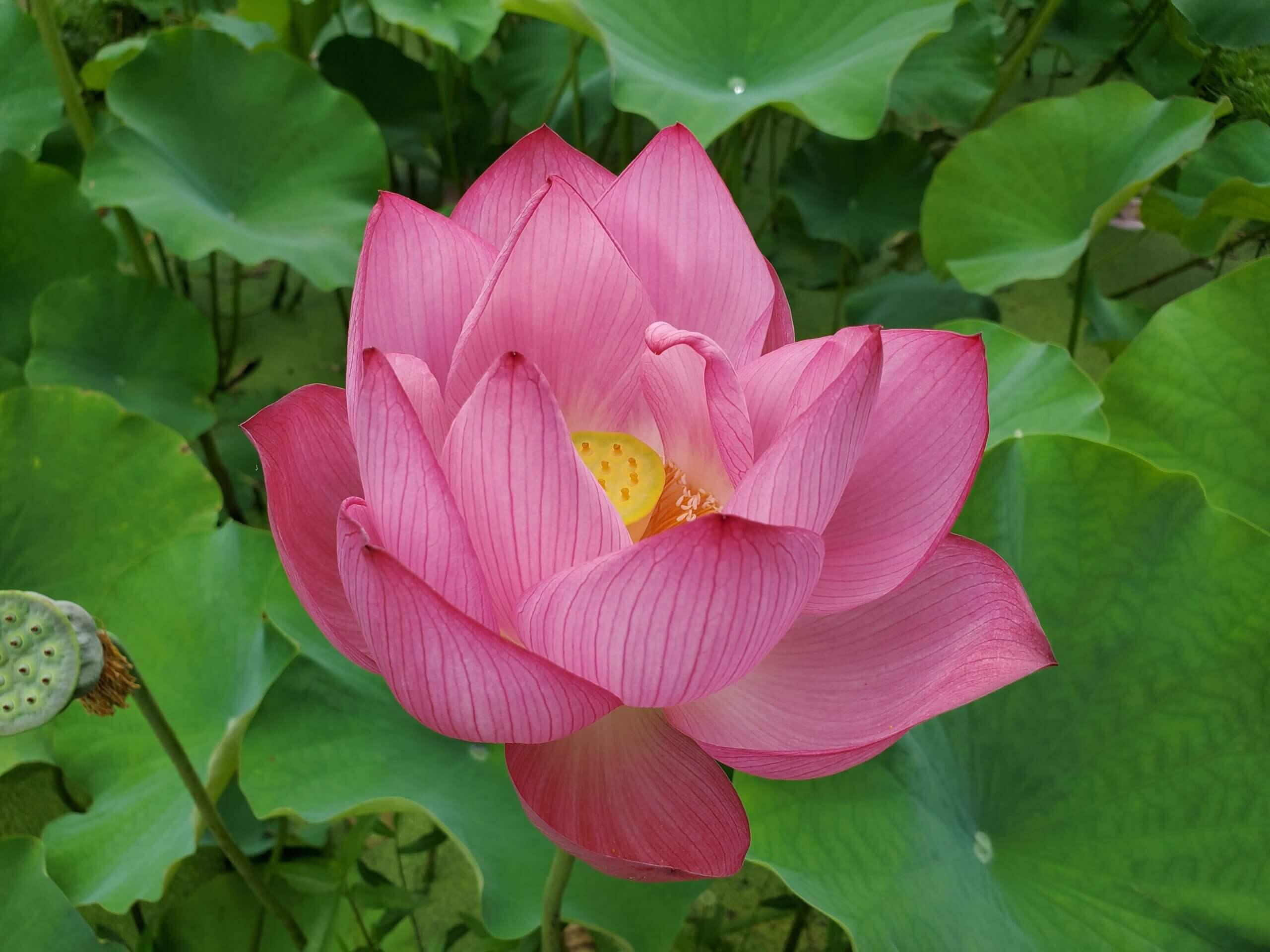 【古代ハス園】桜の季節が終わり藤の花、蓮の花に癒される公園《山鹿市鹿央町岩原》